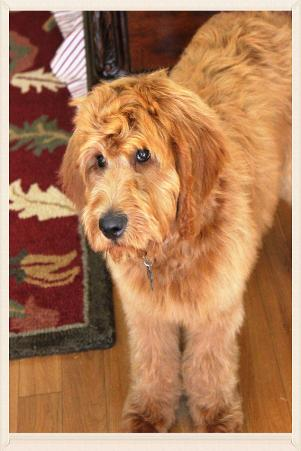 Labradoodle Dogs For Sale