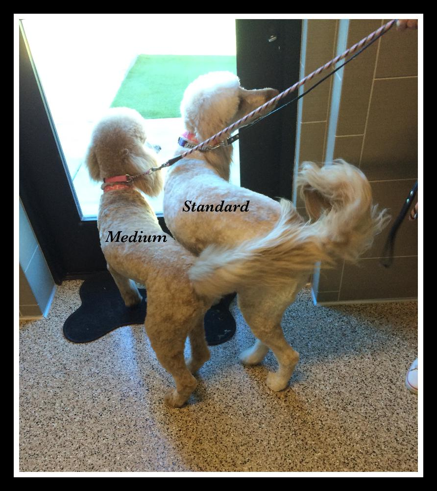 Standard and Medium Goldendoodles