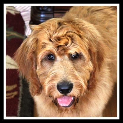 Labradoodle Dog For Sale